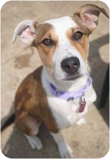 Hound (Unknown Type)/Shepherd (Unknown Type) Mix Dog for adoption in Medford, New Jersey - Ruby