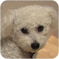 Bichon Frise Mix Dog for adoption in La Costa, California - Preston