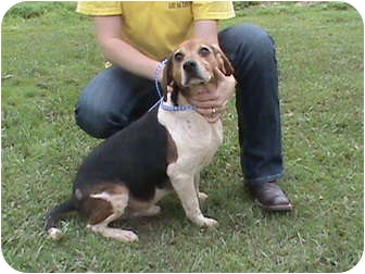 Beagle Mix Dog for adoption in Groton, Massachusetts - Bobby