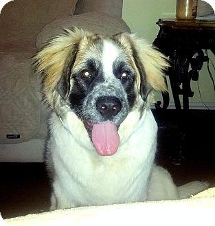 St. Bernard/Australian Shepherd Mix Puppy for adoption in Bellflower, California - Bailey