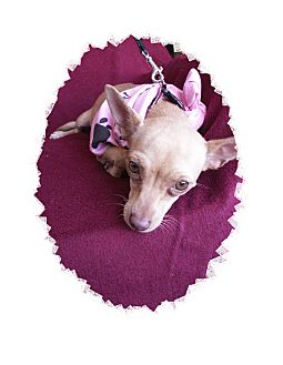 Chihuahua Dog for adoption in Aurora, Colorado - Tinkerbell