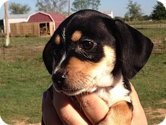 Dachshund Mix Puppy for adoption in McKinney, Texas - Chinook