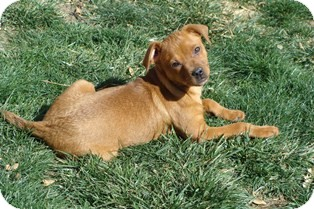 Dachshund/Pug Mix Puppy for adoption in Tustin, California - Sony