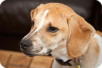 Beagle Mix Puppy for adoption in Phoenix, Arizona - Penny Lane
