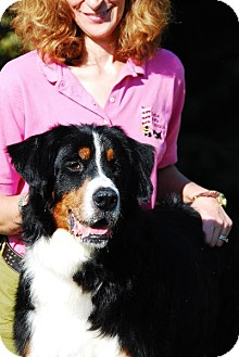 Bernese Mountain Dog Dog for adoption in Mount Gilead, Ohio - Forest