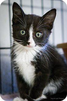 Domestic Shorthair Kitten for adoption in Bulverde, Texas - Blake