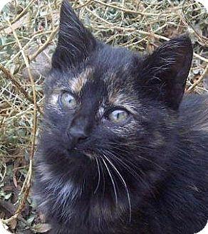 Domestic Shorthair Kitten for adoption in Tulsa, Oklahoma - Catmas