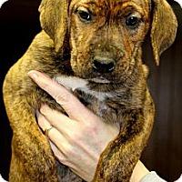 Adopt A Pet :: Lovey - Burr Ridge, IL