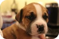 American Bulldog/Labrador Retriever Mix Puppy for adoption in Marlton, New Jersey - Baby Rooney