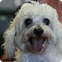 Adopt A Pet :: Snowball - Maltipoo! - Canoga Park, CA