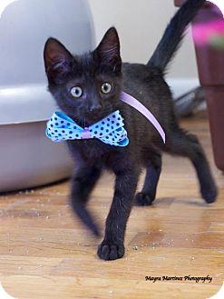Domestic Shorthair Kitten for adoption in Huntsville, Alabama - Zandi