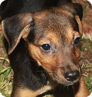 Miniature Pinscher Mix Puppy for adoption in Colonial Heights, Virginia - Natalie