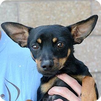 Miniature Pinscher Mix Dog for adoption in Denver, Colorado - Tray