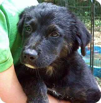 German Shepherd Dog Mix Puppy for adoption in Chicago, Illinois - SAWYER - beautiful boy