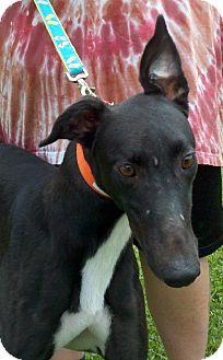 Greyhound Dog for adoption in Randleman, North Carolina - Ink