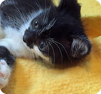 Domestic Shorthair Kitten for adoption in Troy, Michigan - Comet