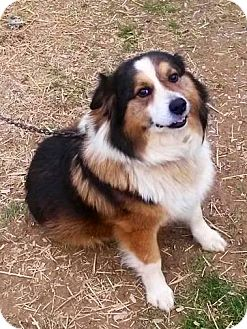 Australian Shepherd Mix Dog for adoption in Sugar Grove, Illinois - Jax