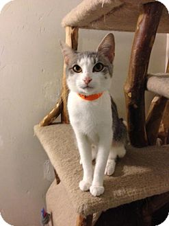 Domestic Shorthair Cat for adoption in Columbus, Ohio - Livvy