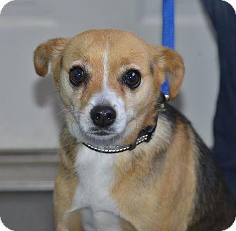 Chihuahua/Australian Shepherd Mix Dog for adoption in Meridian, Idaho - Jack