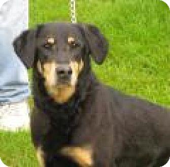 Shepherd (Unknown Type)/Labrador Retriever Mix Dog for adoption in Mineral, Virginia - Sage D34