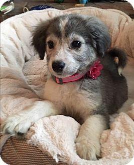 Husky Mix Puppy for adoption in Columbus, Ohio - Maya