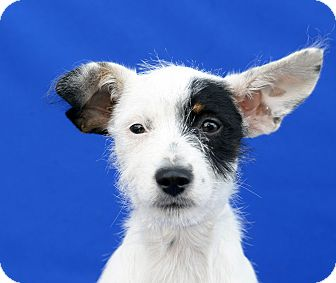 Terrier (Unknown Type, Small) Mix Puppy for adoption in LAFAYETTE, Louisiana - DOTTIE