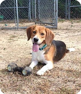 Beagle Dog for adoption in Smithtown, New York - Roscoe