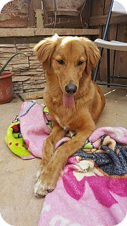 Labrador Retriever Mix Puppy for adoption in Rancho Santa Fe, California - Max