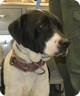 Labrador Retriever Mix Dog for adoption in Sharon, Connecticut - Rodeo