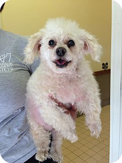 Poodle (Miniature)/Pekingese Mix Dog for adoption in Newburgh, Indiana - Sasha