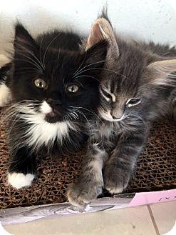 Domestic Mediumhair Kitten for adoption in Las Vegas, Nevada - Timmie