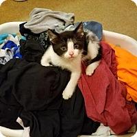 Domestic Shorthair Kitten for adoption in Louisville, Illinois - Tumbleweed