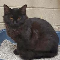 Domestic Longhair/Domestic Shorthair Mix Cat for adoption in Nogales, Arizona - Coffee