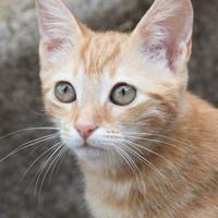 Domestic Shorthair/Domestic Shorthair Mix Cat for adoption in Lihue, Hawaii - Aries