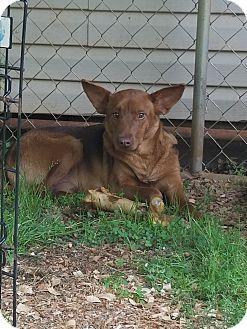 German Shepherd Dog/Mixed Breed (Medium) Mix Dog for adoption in PORTLAND, Maine - Shilo