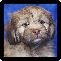 Adopt A Pet :: Snickerdoodle - San Diego, CA