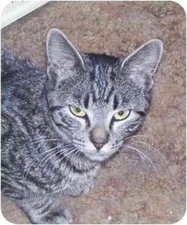 Domestic Shorthair Cat for adoption in Montgomery, Illinois - Peggy
