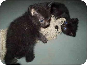 Domestic Longhair Kitten for adoption in Elyria, Ohio - Terrible 2