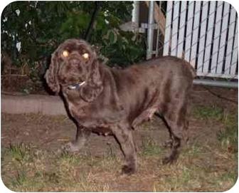 Cocker Spaniel Dog for adoption in Tacoma, Washington - Coco