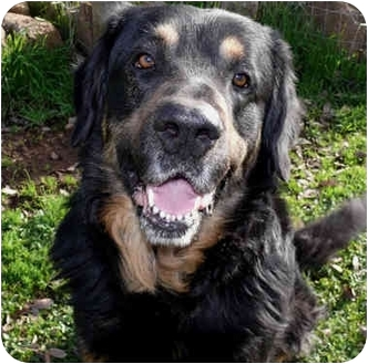 Bernese Mountain Dog/Tibetan Mastiff Mix Dog for adoption in Sacramento, California - Henry handsome