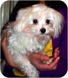 Maltese Dog for adoption in Rochester, Michigan - Teddy