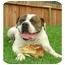 Photo 1 - English Bulldog Dog for adoption in Rolling Hills Estates, California - O'Neil