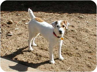 Jack Russell Terrier Dog for adoption in Scottsdale, Arizona - NELLIE