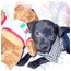 Photo 3 - Labrador Retriever Mix Puppy for adoption in Weeki Wachee, Florida - Pugsley