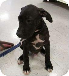 American Bulldog/Boxer Mix Puppy for adoption in Smithfield, North Carolina - MAX