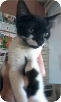 Domestic Shorthair Kitten for adoption in Jacksonville, Florida - Frankie