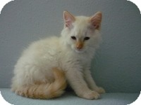 Siamese Kitten for adoption in Tampa, Florida - Ronnie