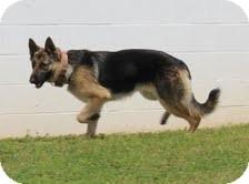 German Shepherd Dog Mix Dog for adoption in Plainfield, Connecticut - Sydney
