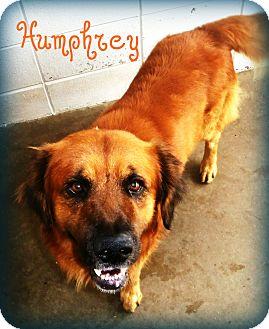 Chow Chow/Anatolian Shepherd Mix Dog for adoption in Beaumont, Texas - Humphrey