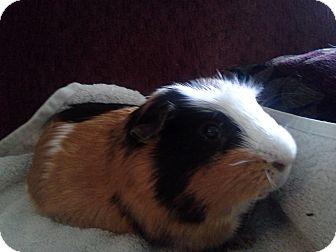Guinea Pig for adoption in San Antonio, Texas - Betty